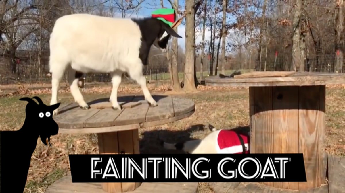 Screaming or Fainting Goats? Round 2 image number null
