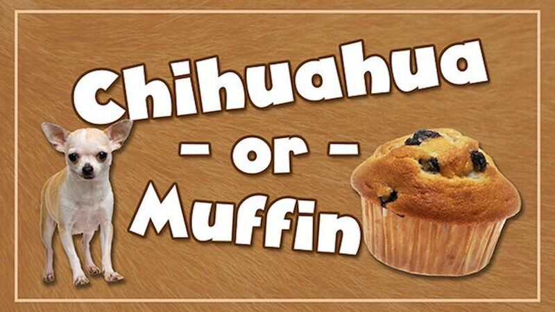 Chihuahua or Muffin