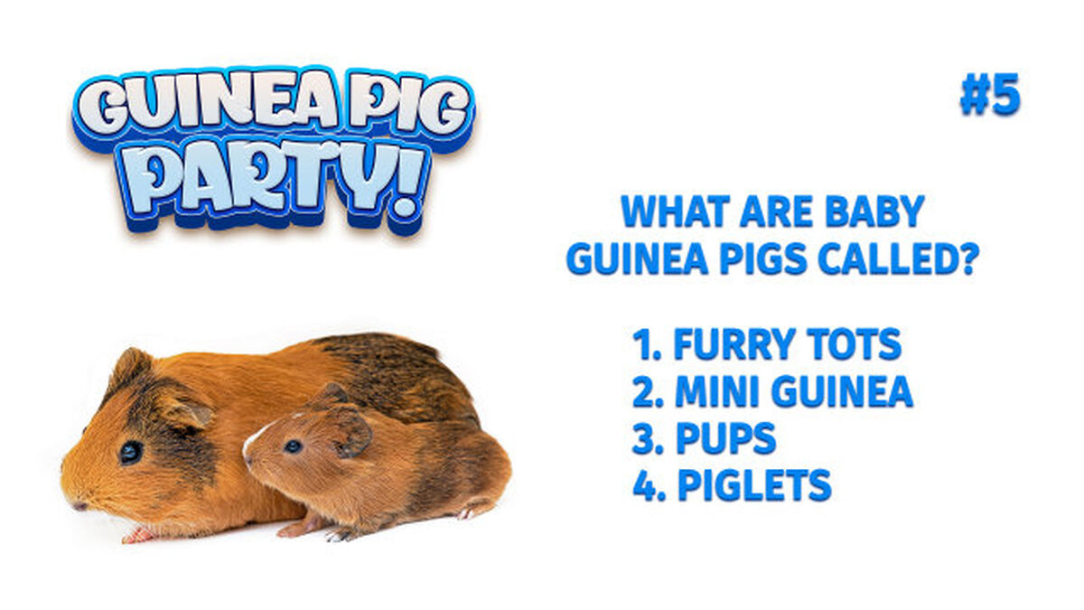 Guinea Pig Party Game image number null