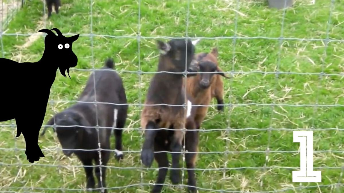 Screaming or Fainting Goats image number null