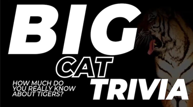 Big Cat Trivia Video Bundle